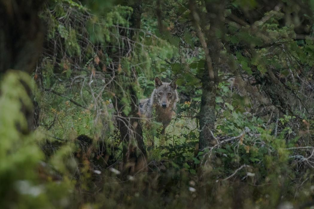 Auf den Spuren des Apennin-Wolfes
