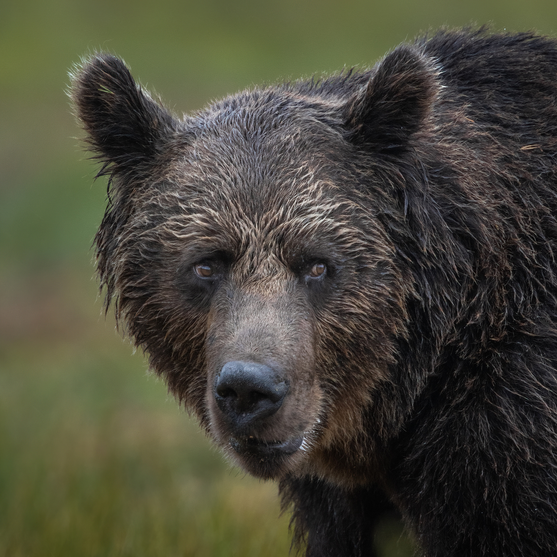 Livestream Wildlife- und Naturfotografie Alessandro Sgro Braunbär