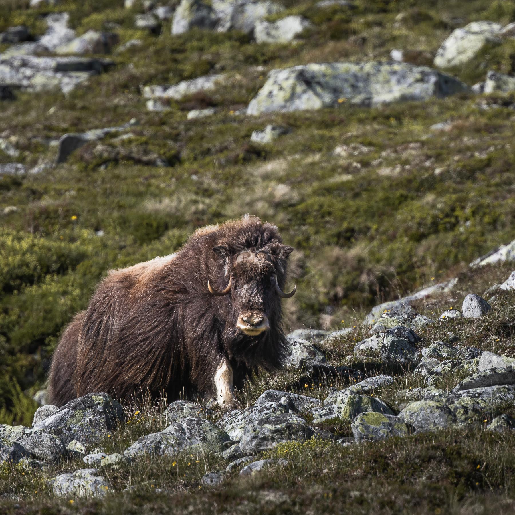 Livestream Wildlife- und Naturfotografie Alessandro Sgro Moschusochse
