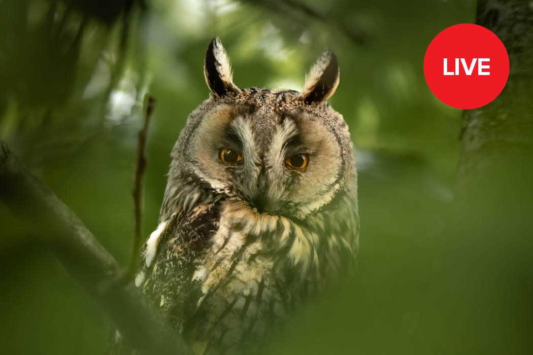 Livestream Wildlife- und Naturfotografie Eule
