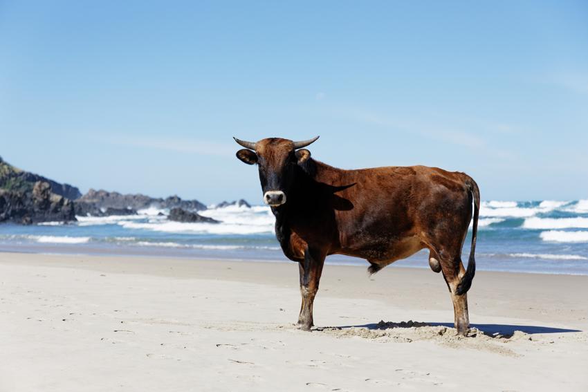 Schnappschuss Reisefotografie Kuh am Strand