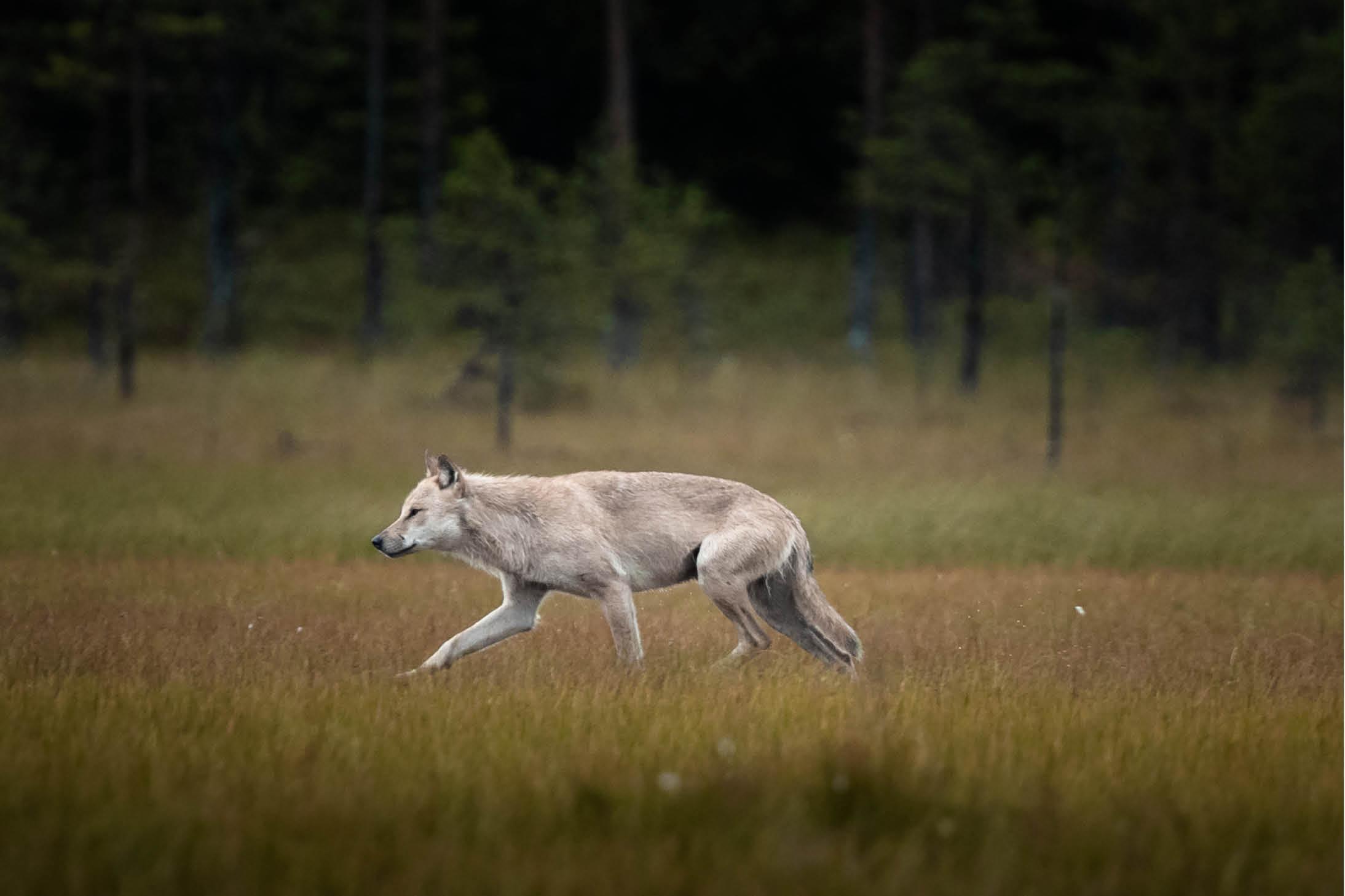 Wolf in Finnland